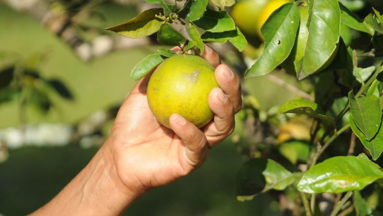 Pagamento do Mão Amiga a produtores de laranja começa nesta quarta